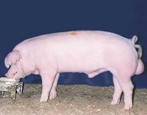 Pig Breeds Utah Pork